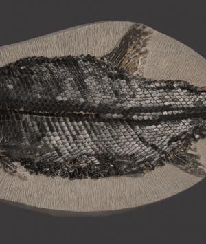 British Fossilised fish, 'Eugnathus Orthostomus'
