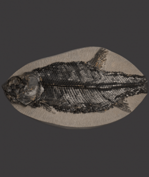 British Fossilised fish, 'Eugnathus Orthostomus'