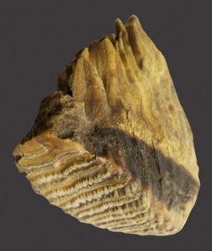 British Woolly Mammoth Tooth, 'Mammuthus Primigenius'