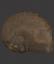 British Fossilised Ammonite, 'Asteroceras Stellare'