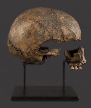 European Renaissance Period Human Skull