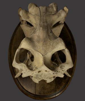 Hippopotamus Skull, 'Hippopotamus Amphibius'