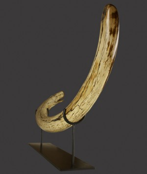British Woolly Mammoth Tusk, 'Mammuthus Primigenius'