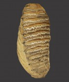 British Woolly Mammoth Tooth, 'Mammuthus Primigenius'