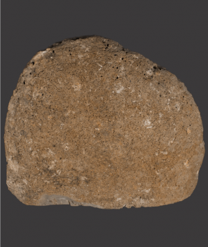 British Fossilised Ammonite, 'Asteroceras Obtusum'