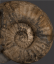 British Fossilised Ammonite, 'Asteroceras Stellare'