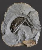 British Fossilised Fish Pholidophorus