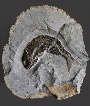 British Fossilised Fish Pholidophorus